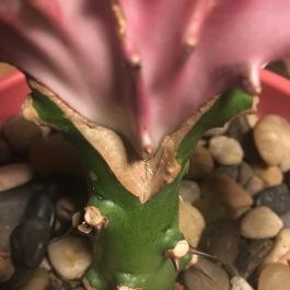 Euphorbia grafting