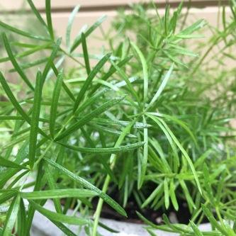 Asparagus aethiopicus'Sprengeri'